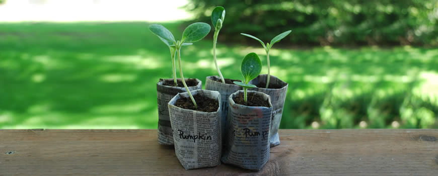 Pumpkin Seedlings in a paper pot