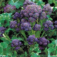 Purple Sprouting Early Broccoli