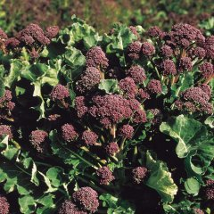 Red Arrow Broccoli