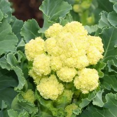 White Sprouting Early Broccoli