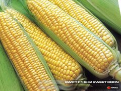 Swift F1 SH2 Sweet Corn