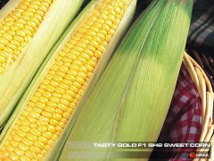 Tasty Gold F1 SH2 Sweet Corn