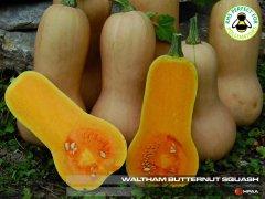 Waltham Butternut Squash