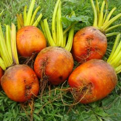 Golden Beet Beetroot