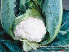 Clapton F1 Cauliflower