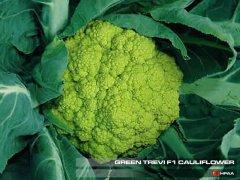 Green Trevi F1 Cauliflower