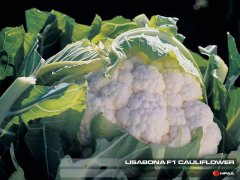 Lisbonia F1 Cauliflower