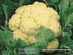 Maystar (EWK) Cauliflower