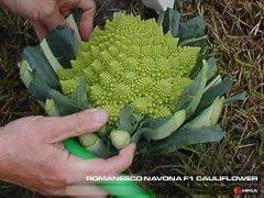 Romanesco Navona F1 Cauliflower
