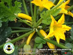 Early Gem F1 Courgette