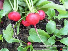 Scarlet Globe Radish
