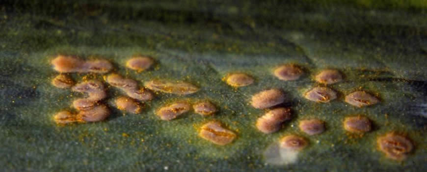 Rust on a Garlic Leaf