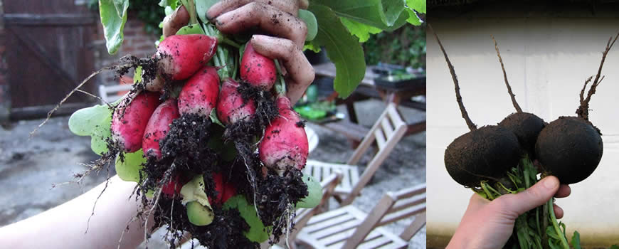 Harvesting Radishes & Winter Radish