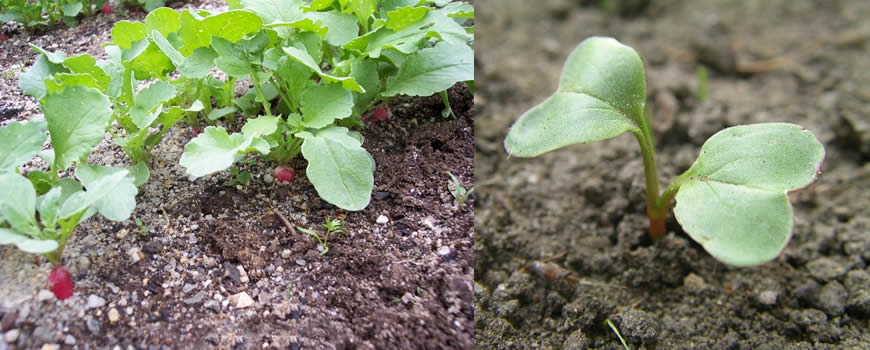 Radish Seedlings Growing