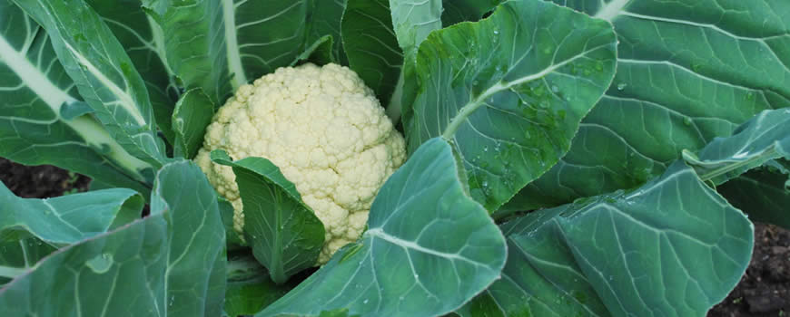 Harvesting Cauliflower