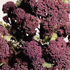 Rudolph Broccoli