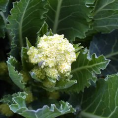 White Star Broccoli