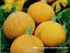 Gold Nugget Winter Squash