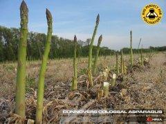 Connovers Colossal Asparagus
