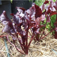 Bulls' Blood Beetroot