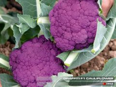 Graffiti F1 Cauliflower