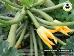Genovese Courgette