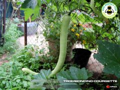 Tromboncino Courgette