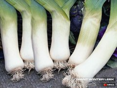 Giant Winter Leek