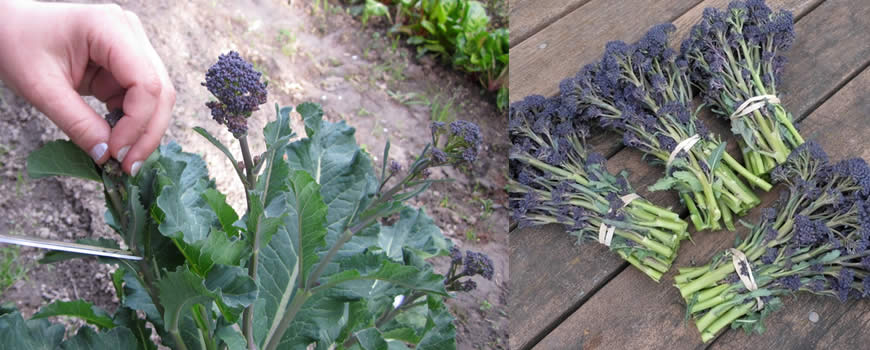 Harvesting Sprouting Broccoli