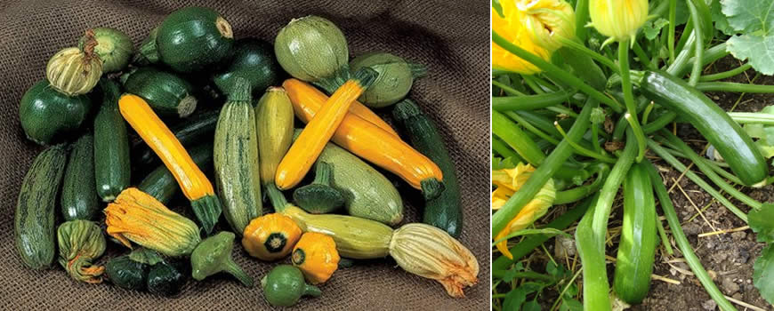 Growing Courgettes