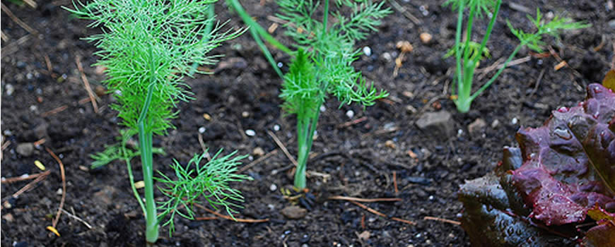Florence Fennel Seedlings